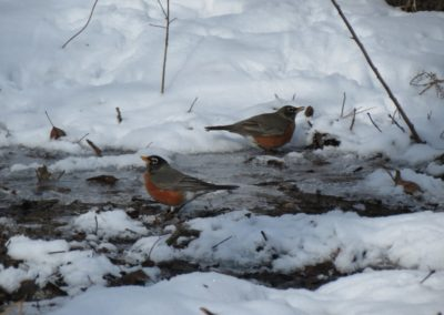 Robins Drinking